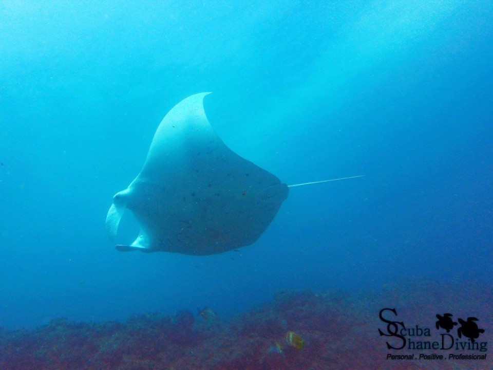 scuba dive with mantarays
