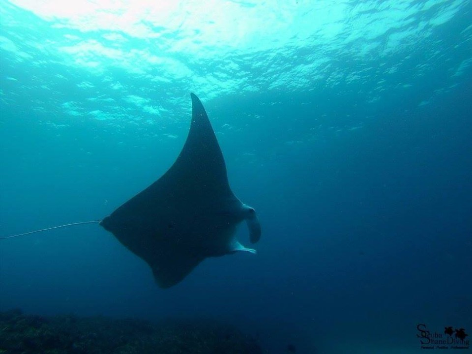 dive with mantarays brisbane