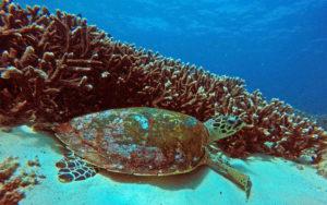scuba diving in Brisbane turtle