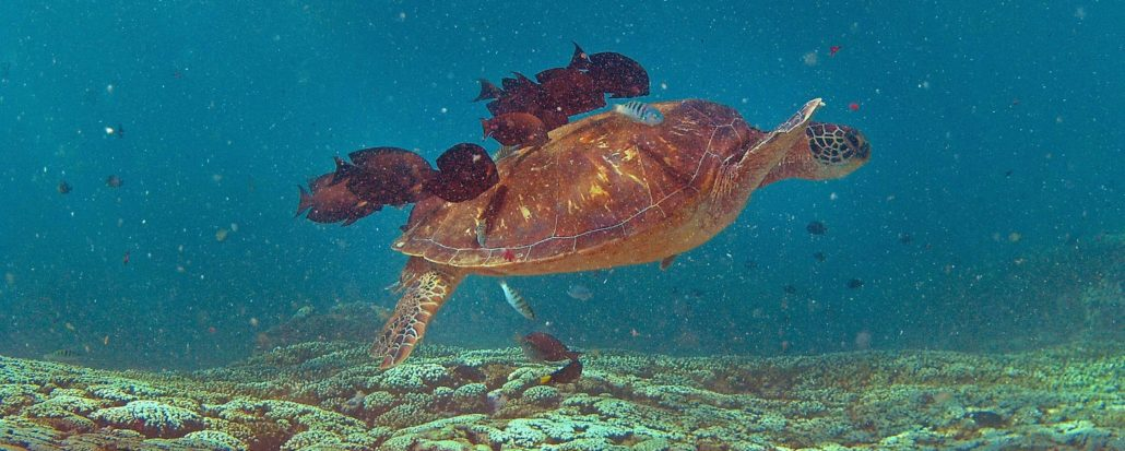 scuba diving in brisbane turtle